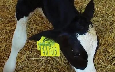 小牛和小母牛养殖中心